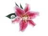 orhideya-1