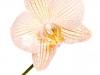 orhideya-14