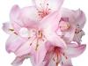 lilii-10