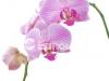 orhideya-10