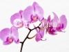 orhideya-4