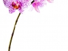 orhideya-7