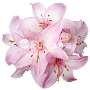 lilii 10