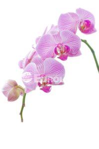 orhideya 10