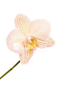 orhideya 14