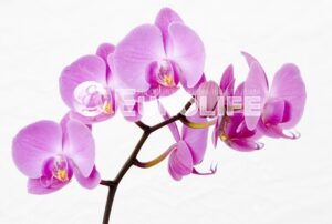 orhideya 4