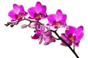 orhideya 6