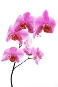 orhideya 8